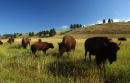 Bison graze in Custer State Park August 13 2001 in the southern Black Hills of South Dakota Millions of bison were slaughtered by white hunters who...
