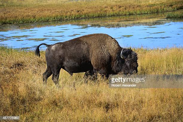 A bison grazes on grasses in the Hayden Valley section of Yellowstone National Park in Wyoming
