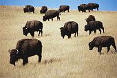 Bison (Bison bison) grazing on prairie