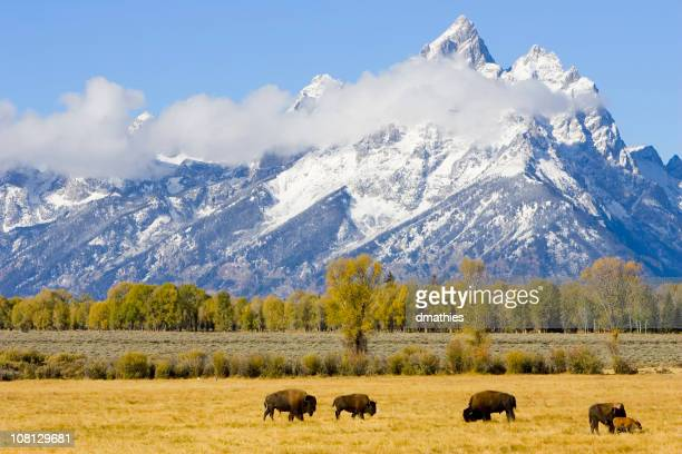 Bison Herd on Field with Mountains in Background