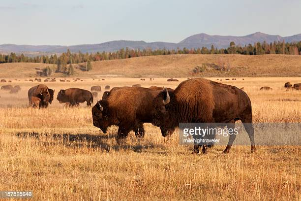 Bison herd, Tetons NP Wyoming