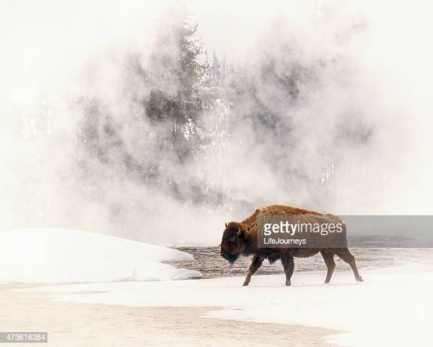 Bison In A Field of Fog In Yellowstone National Park