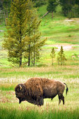 Bison in field, Yellowstone National Park