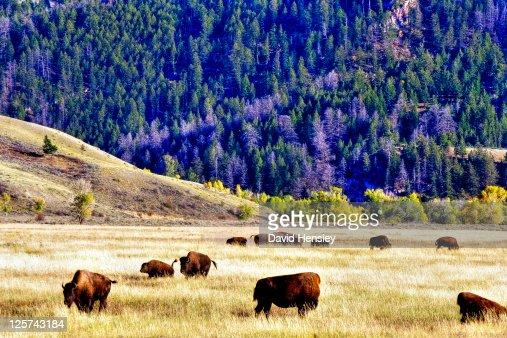 Bison in Grand Teton national park : Stock Photo
