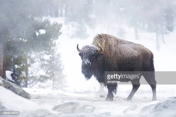 Bison in Nebel