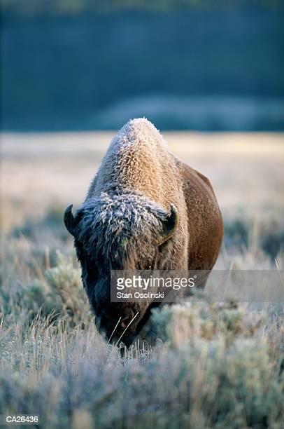 Bison (Bison bison) in snow