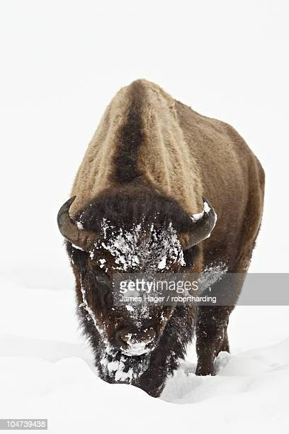 Bison (Bison bison) in snow, Yellowstone National Park, Wyoming, United States of America, North America