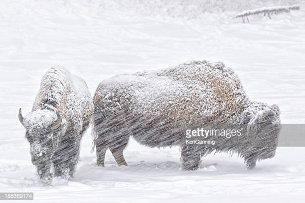 Bison im Winter Snow