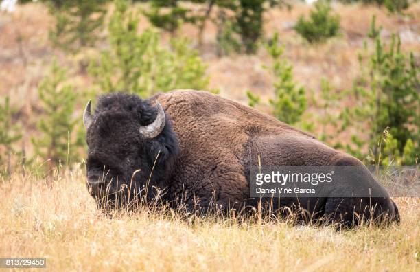 Bison in Yellowstone National Park , Wyoming