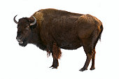 bison isolated