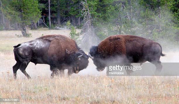 Bison leadership