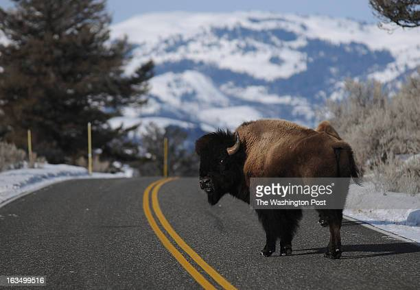 A bison looks back as it crosses the road near Lamar Valley in Yellowstone National Park
