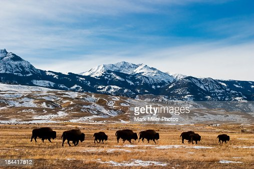 Bison Migration : Stock Photo