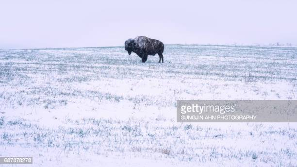 A Bison on Snowy day