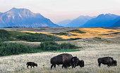 Bison graze the Alberta prairie near Waterton National Park