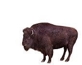 Bison on white background