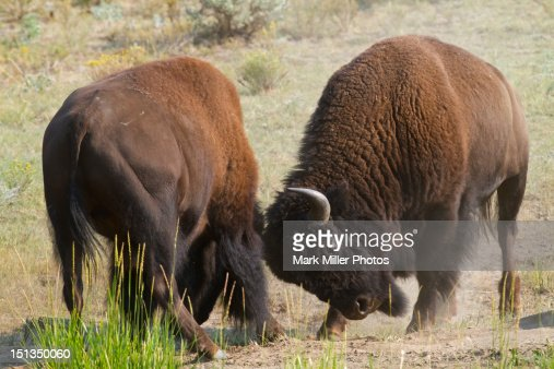 Bison sparring  in Yellowstone National Park : Stock Photo