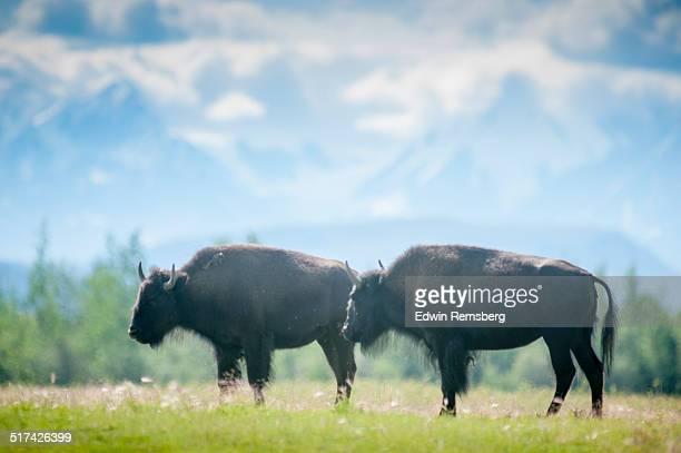Bison standing together