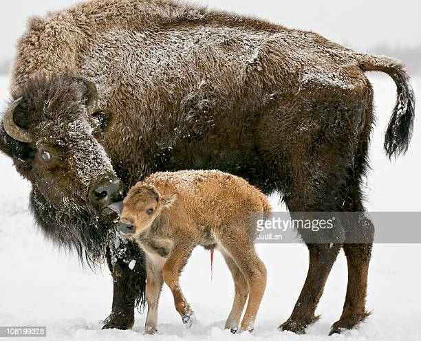 Bison with Newborn Calf and the relationship between them