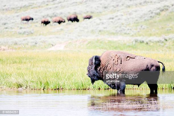Bison, Parc National de Yellowstone
