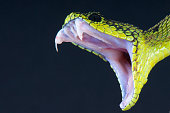Vipers have highly effective venom delivery systems which they can deliver lightning fast.
