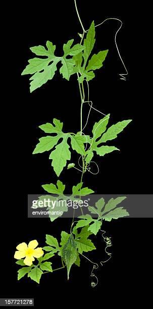 Amer concombre plante, Tracé de détourage compris.