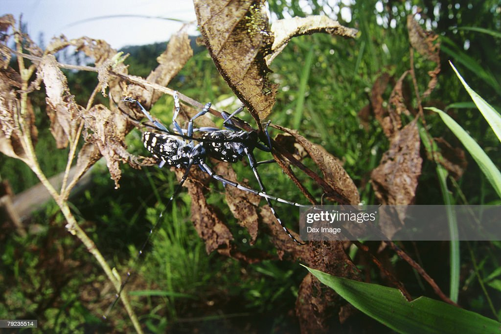 Black and blue spotted beetle on dried leaves and branches : Stock Photo
