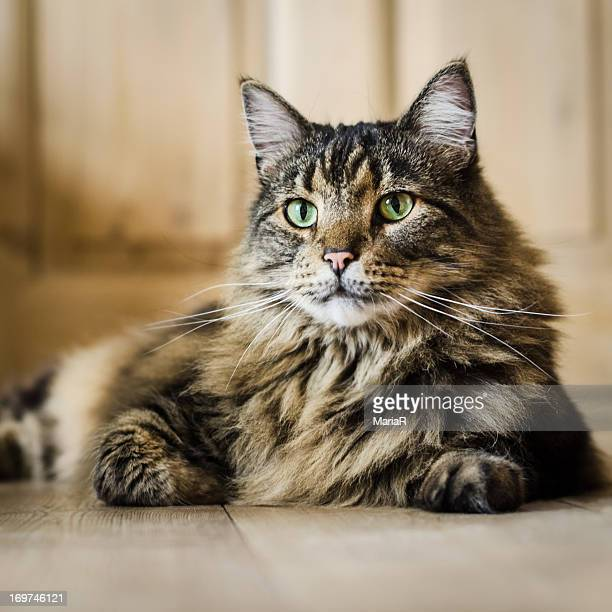 Black and brown tabby cat on wooden floor