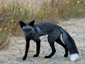 Black and grey fox with wildflower background