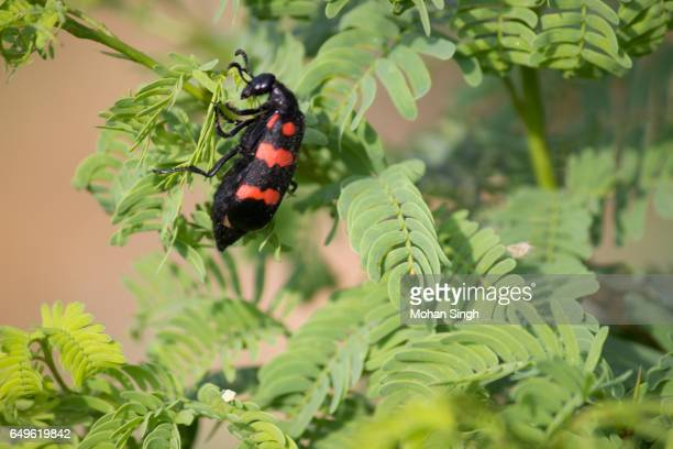 Black and Red beetle at Asola Bhatti Wildlife Sanctuary