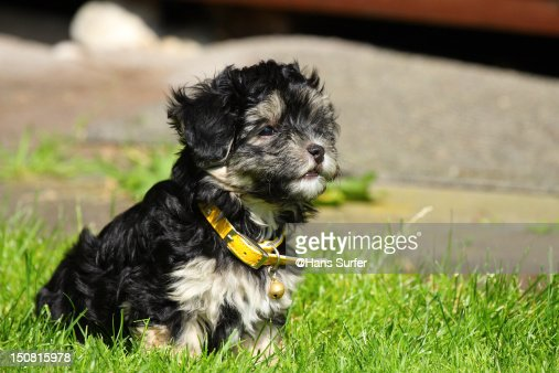 Black And Tan Havanese Puppy Stock Photo | Getty Images