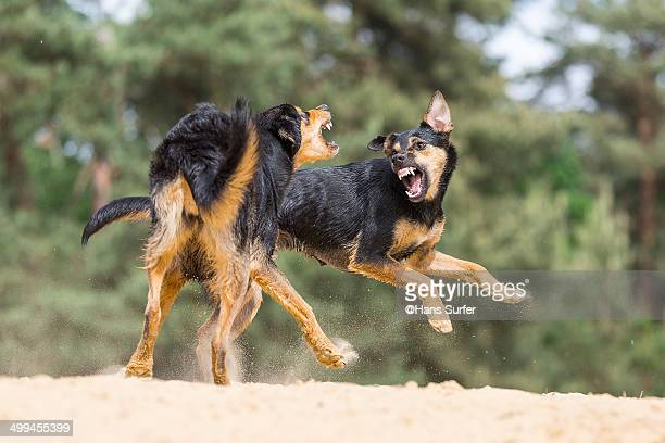 2 Black and tan playing dogs