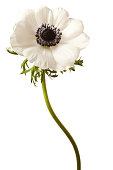 Black and White Anemone Isolated