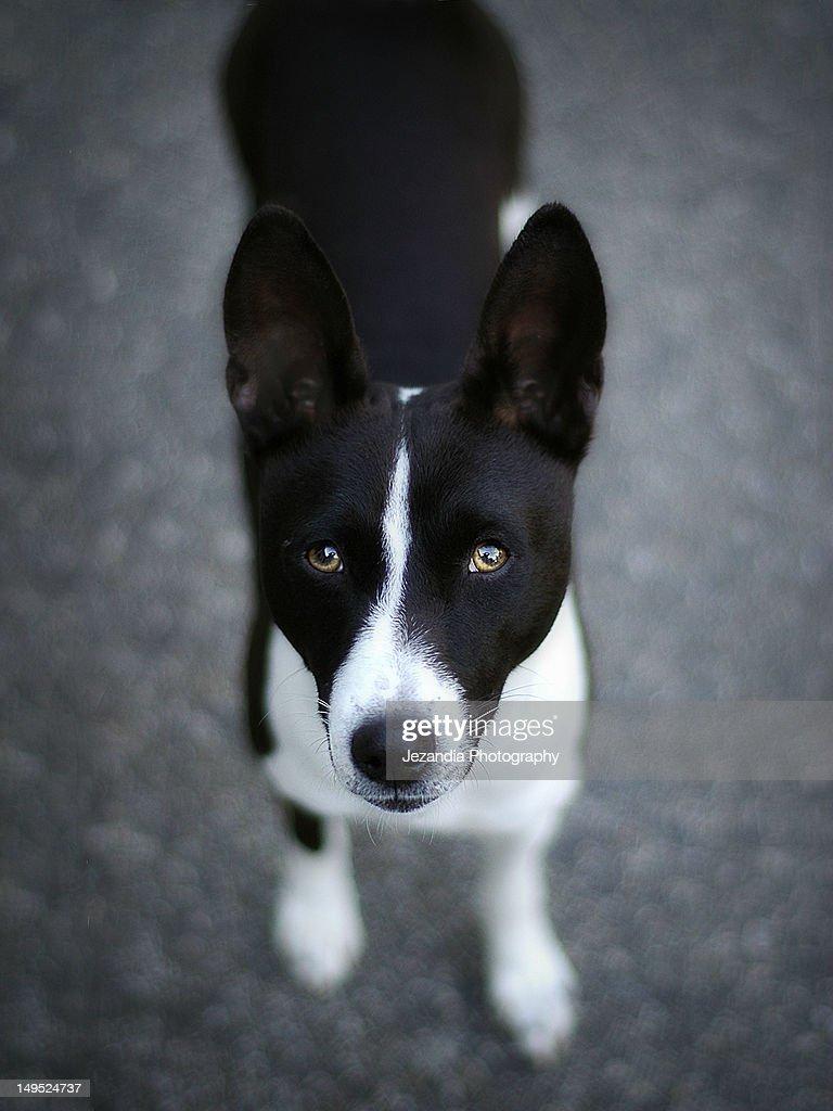 Black and white Basenji dog : Stock Photo