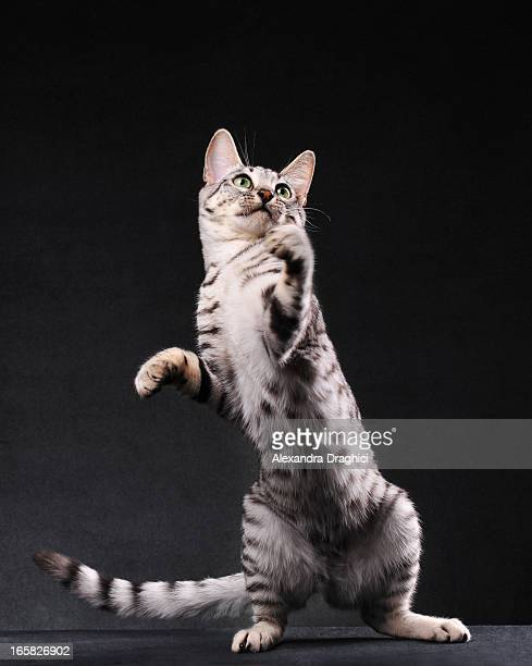 Black and white bengal cat standing on two legs