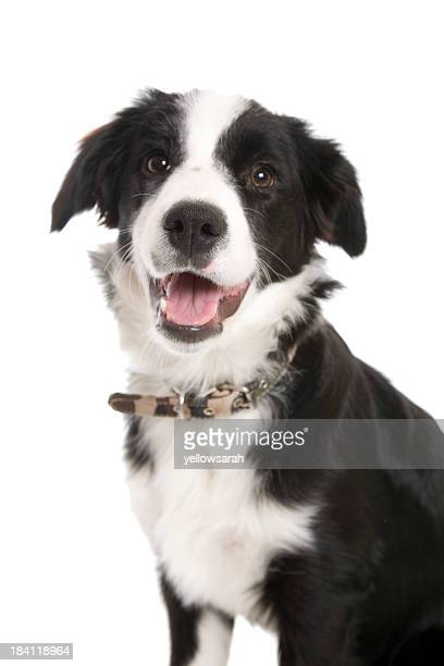 Black and white border collie dog with mouth open