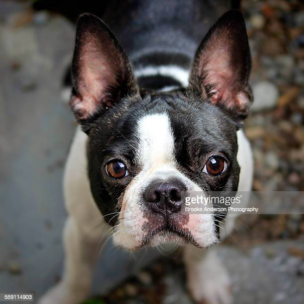 Black and white boston terrier dog