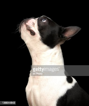 Black and white boston terrier looking up. : Stock Photo