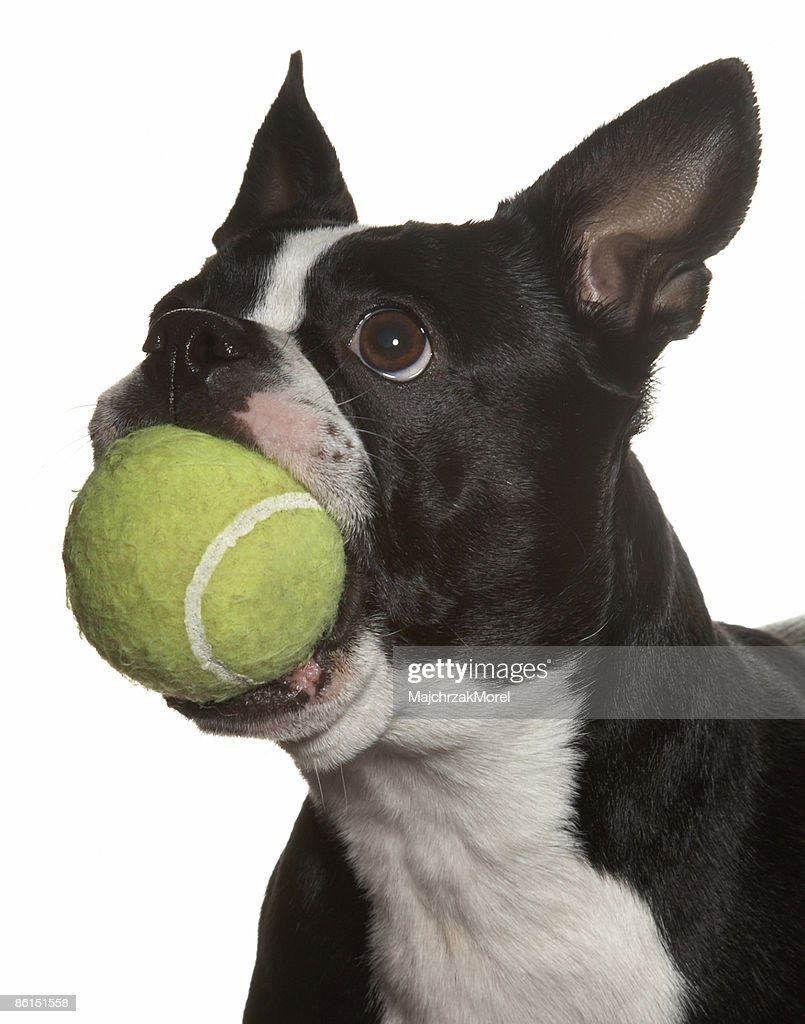 Black and White Boston Terrier with Tennis Ball : Stock Photo