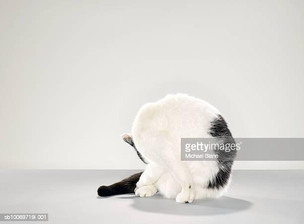 Schwarze und weiße Katze beugen hinter dem Körper zu reinigen Bein