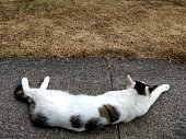 Cat laying on the pavement next to some grass in on a hot summer day
