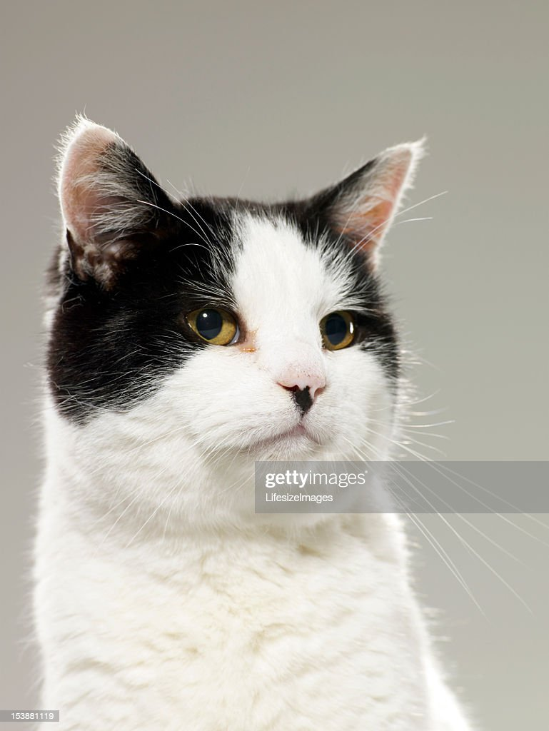 Black and white cat, looking away, close-up, : Stock Photo
