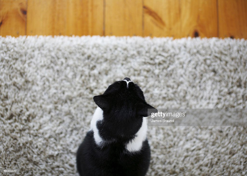 Black and white cat on rug : Stock Photo