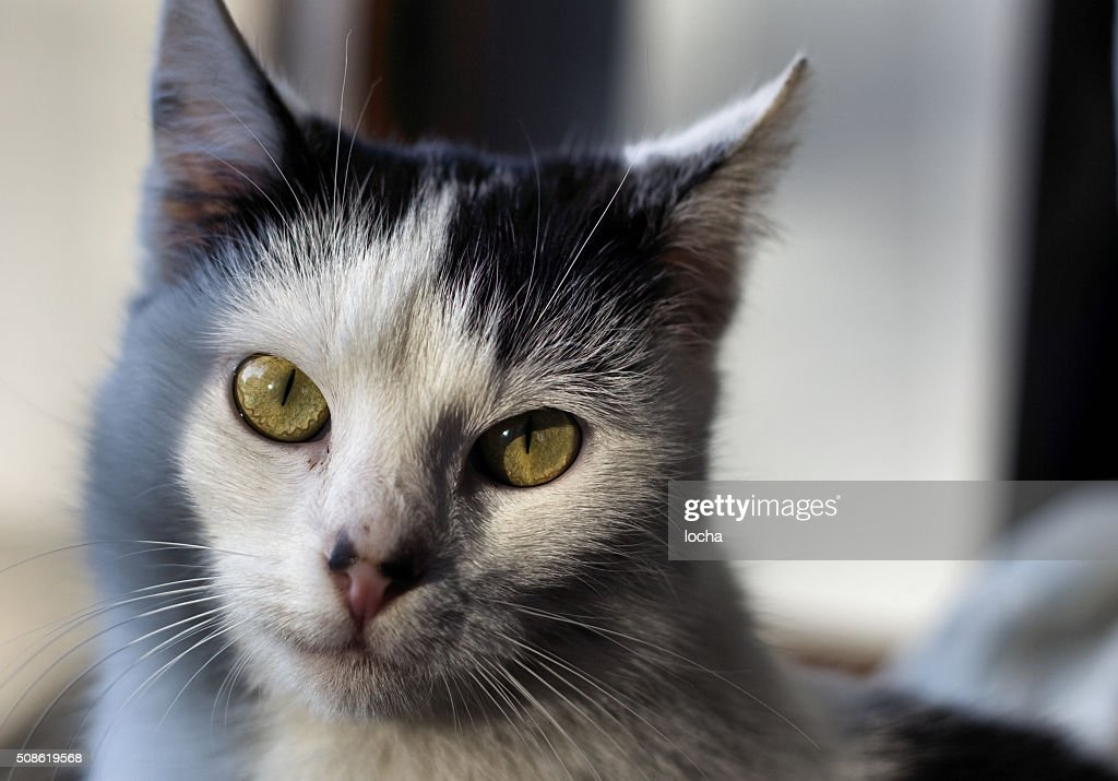 black and white cat : Stock Photo