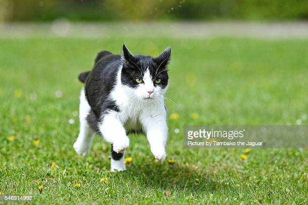 Black and white cat running in the grass