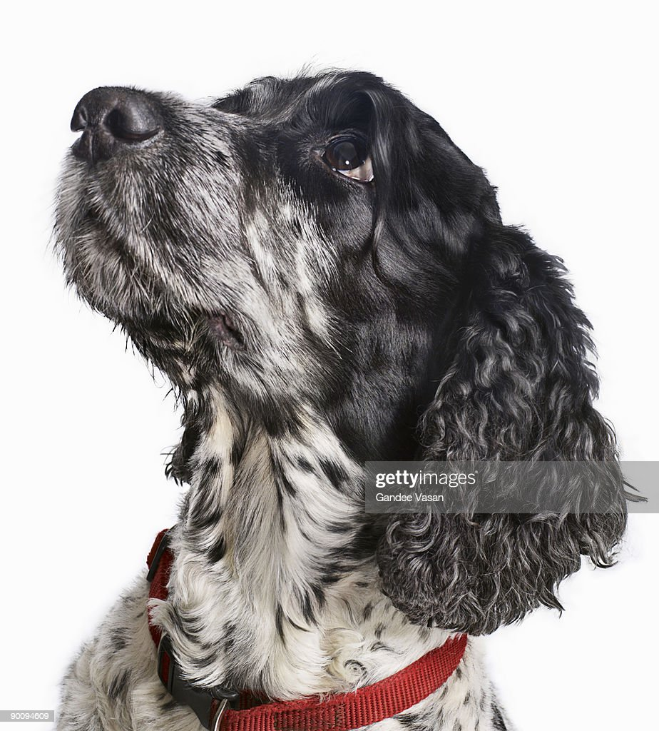 Black and white Cocker Spaniel looking up : Stock Photo