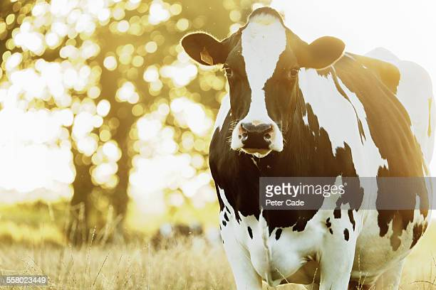 black and white cow in field, morning sun.