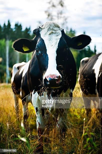Vache noir et blanc
