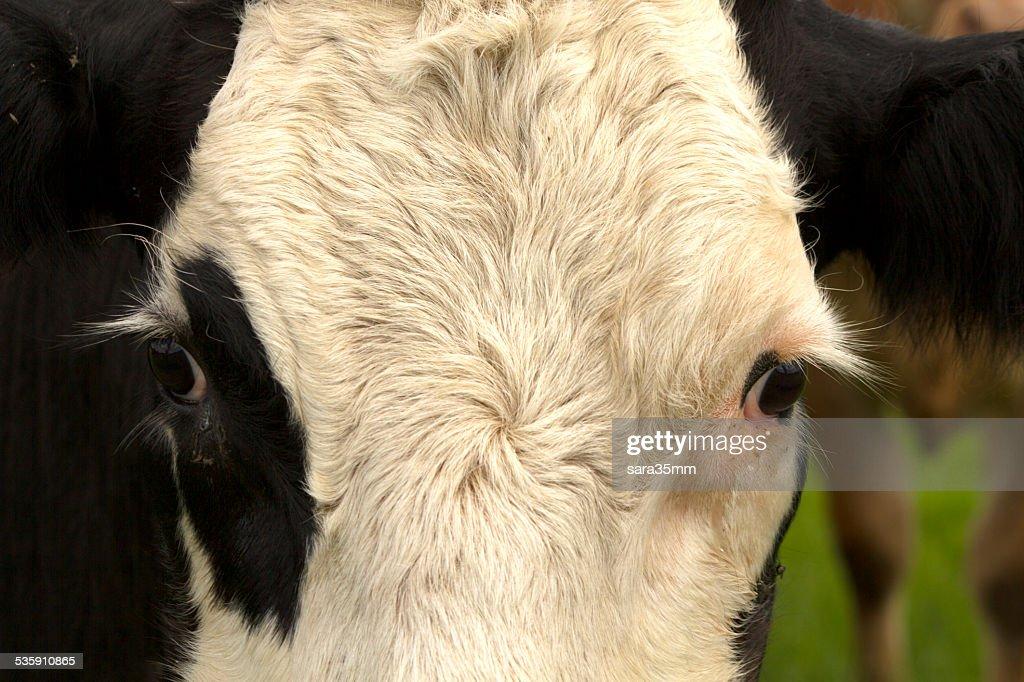 Preto e branco de Vaca : Foto de stock