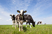 black and white cows graze in meadow in holland with blue sky